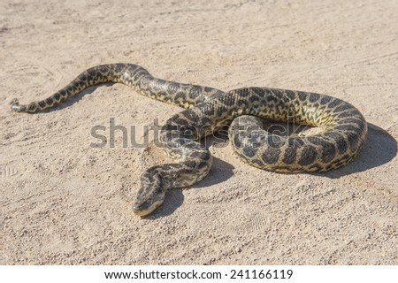 Closeup of desert rock python snake crawling on sandy arid ground - stock photo