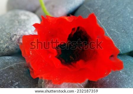 Closeup of dew drops on a poppy petal - stock photo