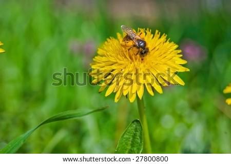 Closeup of diligent Bee on yellow Dandelion. - stock photo