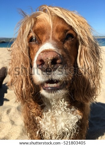Closeup of dogs face on beach with sandy nose