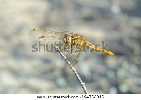 Closeup of dragonfly resting on a twig. - stock photo