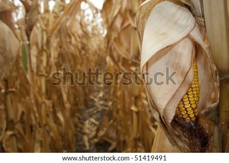 Closeup of dry corn cob ready for harvest - stock photo