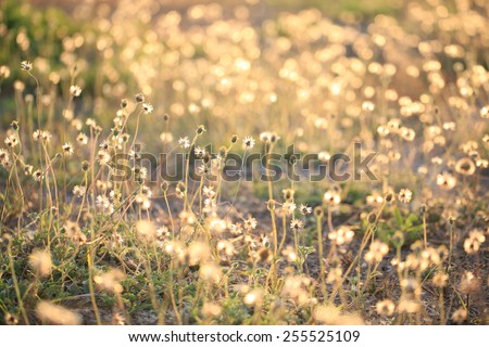 Closeup of dry meadow flowers , Flowering Onion - stock photo