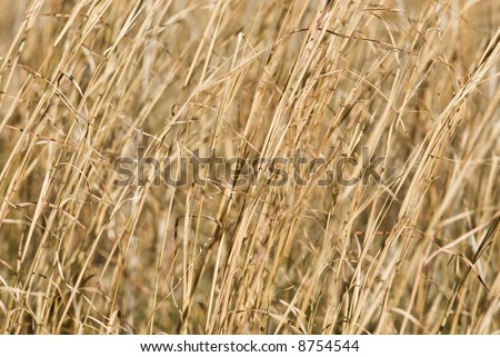 Closeup of dry Switch Grass in the winter for a nature, abstract background.