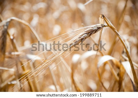 Closeup of dry wheat in a field