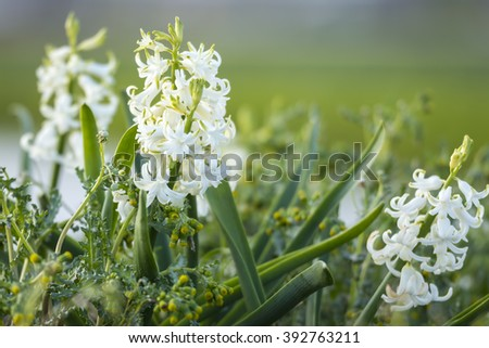 Closeup of Dutch white Hyacinth flowers in a flower field in the Netherlands - stock photo
