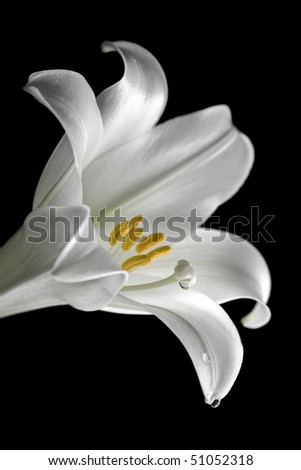 Closeup of easter lilly on black with water droplet - stock photo