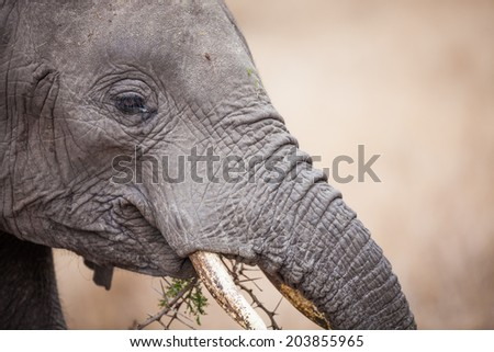 Closeup of elephant eating acacia bush in Ngorongoro Crater in Tanzania