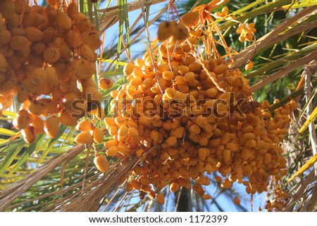 Closeup of ellow fruit hanging from a palm tree