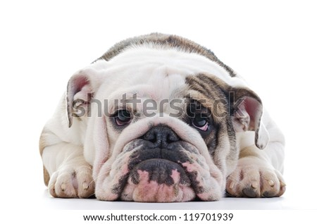 Closeup of English bulldog head, laying dog, Shallow focus on eyes - stock photo