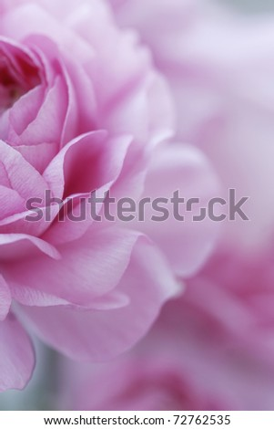 closeup of english roses, shallow dof for a dreamy effect - stock photo