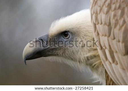 Closeup of Eurasian Griffon Vulture (Gyps fulvus) - stock photo