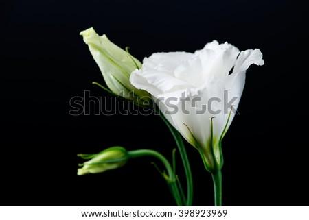 closeup of eustoma flower on a black background - stock photo