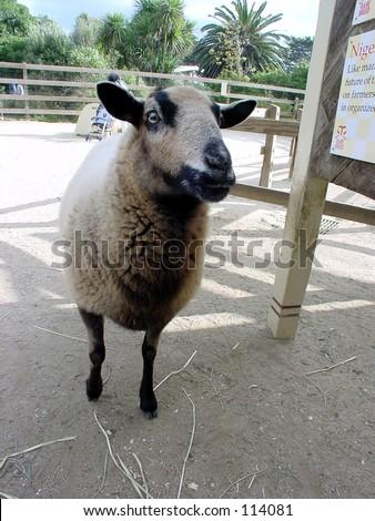 Closeup of farm animal. - stock photo