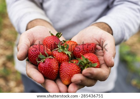 Closeup of farmer hands  holding fresh picked strawberries on the field - stock photo