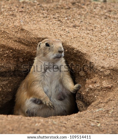 Closeup of fat prairie dog mother standing in burrow, looking to the right