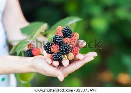 Closeup of female hands holding handful of red and black blackberries outdoors in summer - stock photo