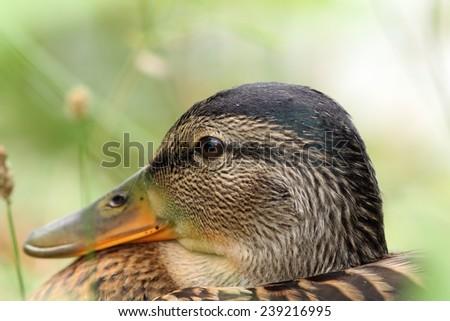closeup of female mallard duck head, portrait ( Anas platyrhynchos ) - stock photo