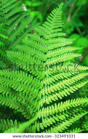 Closeup of fern (Matteuccia struthiopteris, ostrich fern, shuttlecock fern) leaves. Shallow DOF. - stock photo