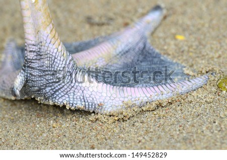 Closeup of Flamingo foot stepping on sand earth