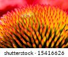 Closeup of flower Echinacea purpurea - stock photo
