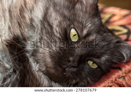 Closeup of fluffy turkish angora cat's snout - stock photo