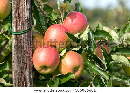 Closeup of four apples on a branch