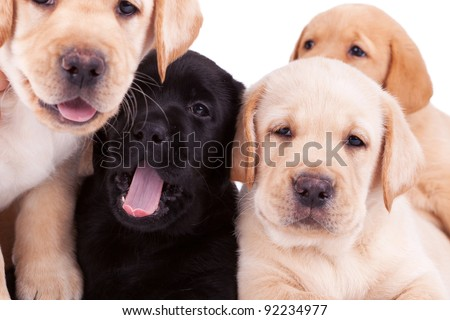 closeup of four little labrador retriever puppies looking at the camera - stock photo