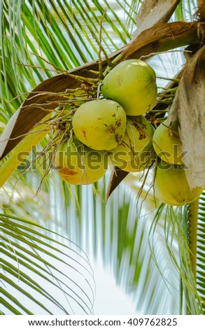 Closeup of fresh coconut on coconut color that conveys freshness .  - stock photo
