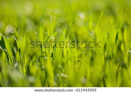 closeup of fresh green grass in sun light - stock photo