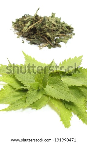 Closeup of fresh green nettle and heap of dried nettle in background. Isolated on white background