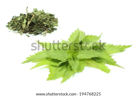 Closeup of fresh green nettle and heap of dried nettle in background. Isolated on white background - stock photo