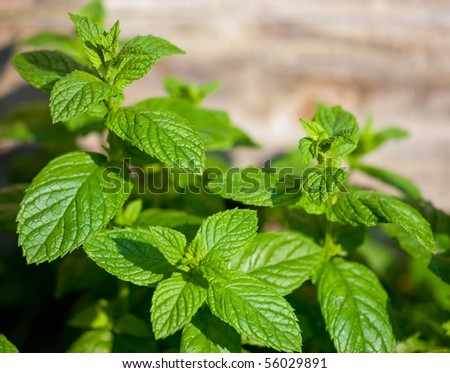 Closeup of fresh mint - stock photo