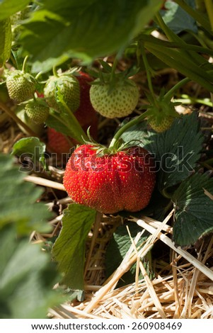 Closeup of fresh organic strawberries growing on the vine - stock photo