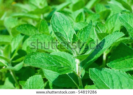 Closeup of fresh peppermint leaves - stock photo