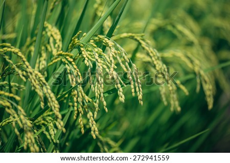 Closeup of fresh ripe asian rice at big rice fields in Japan - stock photo