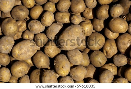 Closeup of freshly harvested potatoes in the sun - stock photo
