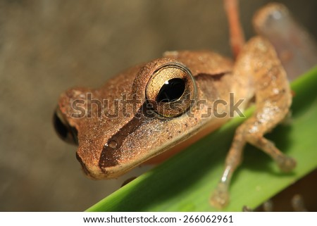 Closeup of frog head,Focus on eye - stock photo