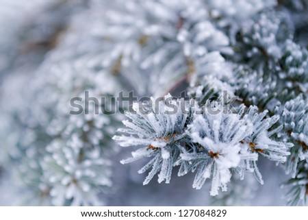 Closeup of frozen coniferous branches - stock photo