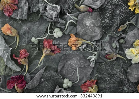 Closeup of Garden Nasturtium (Tropaeolum majus) fading leaves and flowers at frosty morning. Desaturated.  - stock photo