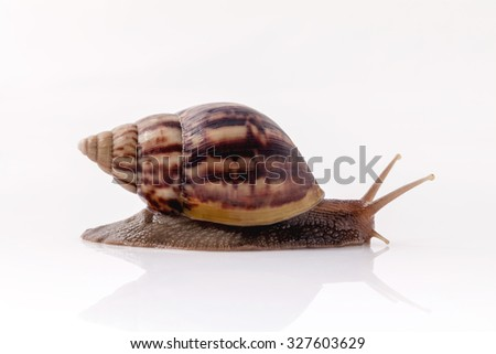 Closeup of garden snail isolate on white background with reflection. - stock photo