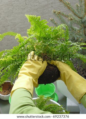 Closeup of gardener's hands wearing rubber gloves bedding out potted fern plant - stock photo