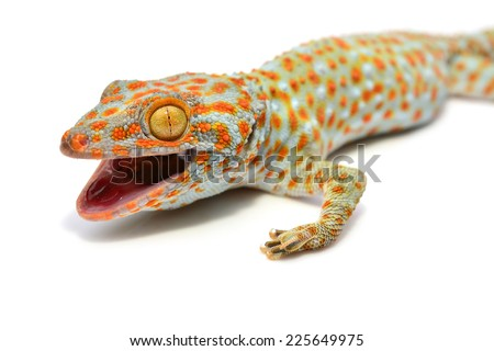 Closeup of gecko isolated on white background - stock photo
