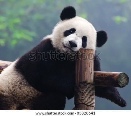 Closeup of giant panda bear looking right into the camera - stock photo