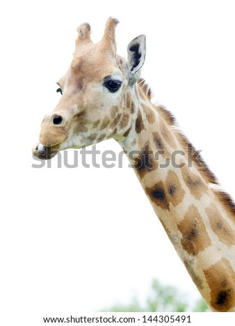 Closeup of giraffe chewing food, looking and staying alert