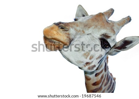 Closeup of giraffe head white background.