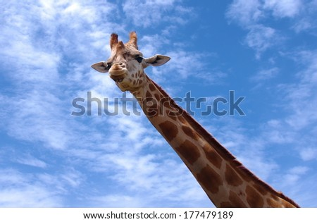 closeup of giraffe  portrait over sky - stock photo