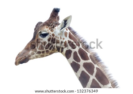 Closeup of giraffe profile of head and neck