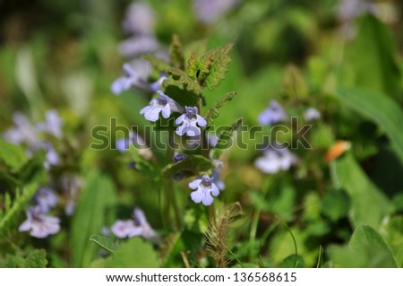 Closeup of Glechoma hederacea