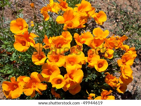 Closeup of Gold Poppies